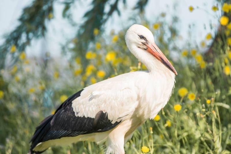 Hungarian stork